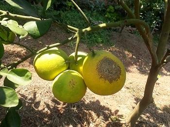 Khảo sát đánh giá tác động của ruồi vàng và bệnh nấm, giám tới một số loại cây ăn quả tại tỉnh Vĩnh Phúc